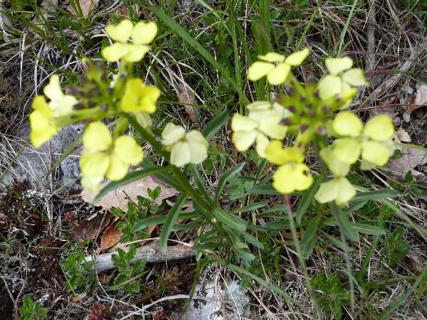 fleur du plateau du Vercors