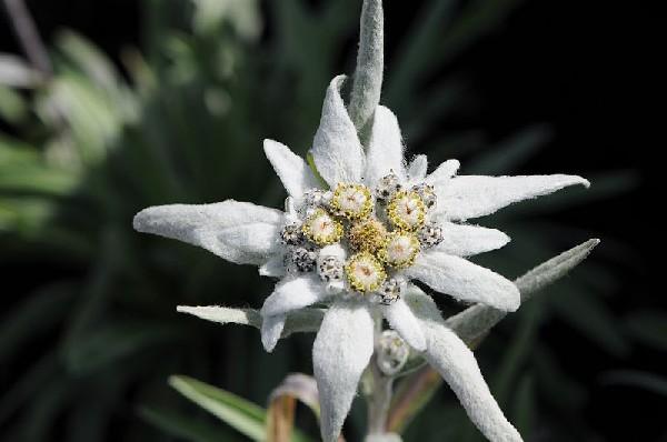 l'Edelweiss, fleur que vous pouvez rencontrer sur les crêtes du Vercors